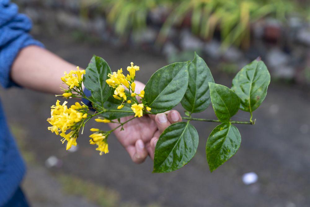 homeopatskabiljka