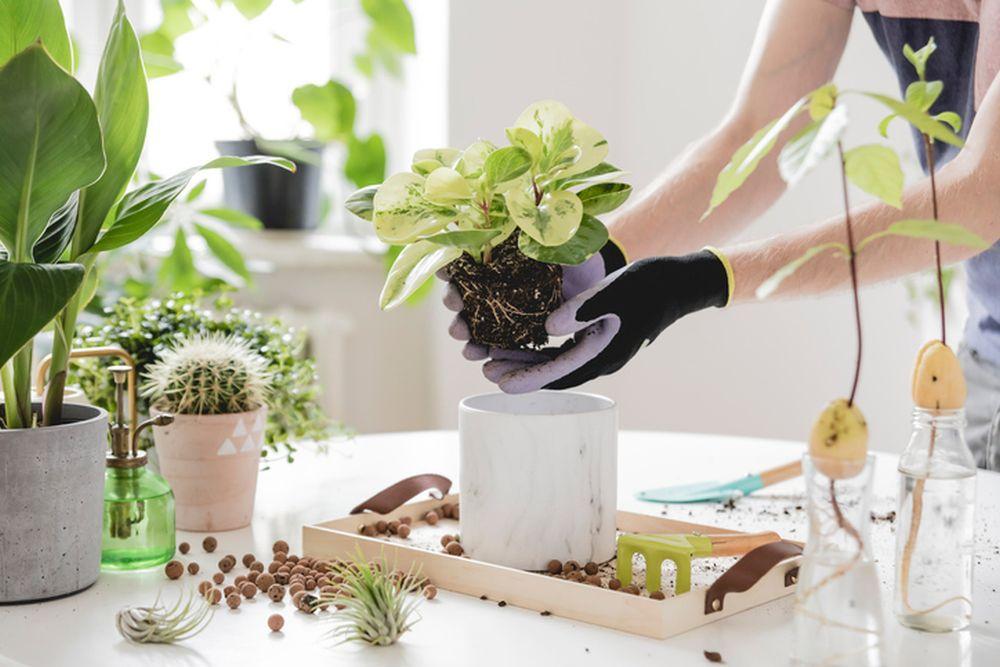 biljka presadjivanje