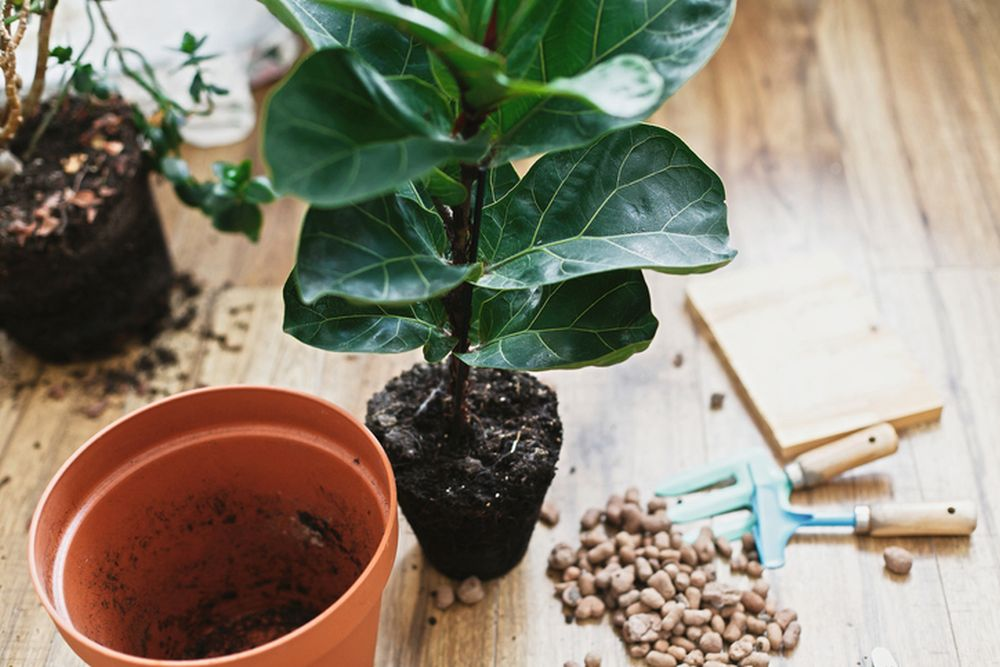 presadjivanje kućna biljka
