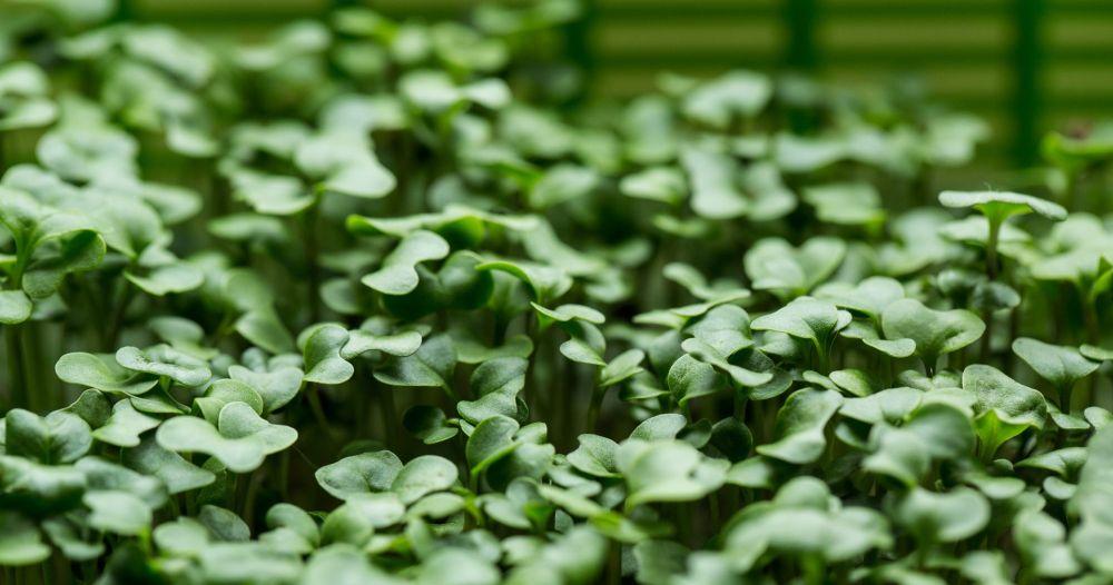 klice brokolija shape