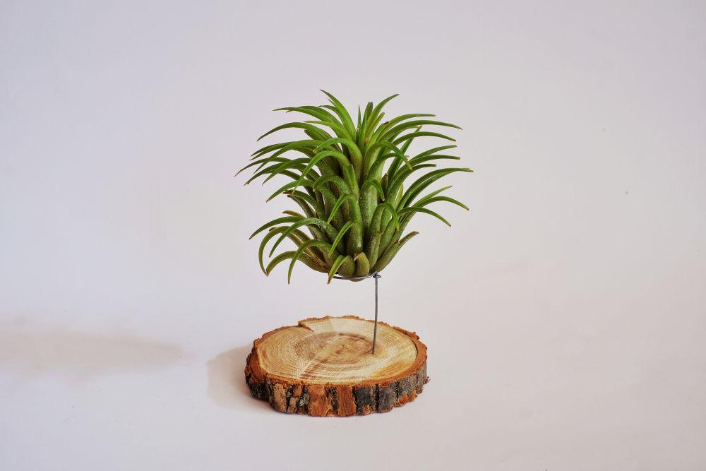 Vazdušne biljke